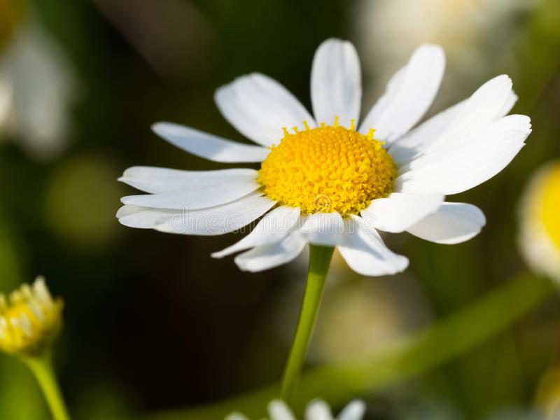 Chamomile flower in sunlight, macro shot stock photos