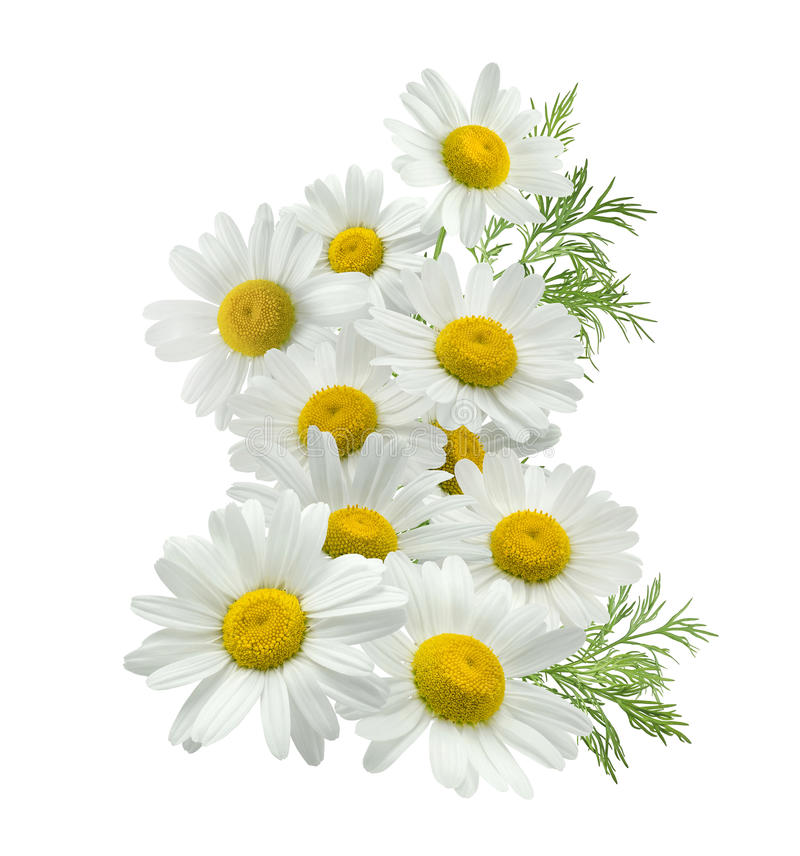 Chamomile flower vertical group left isolated on white royalty free stock image