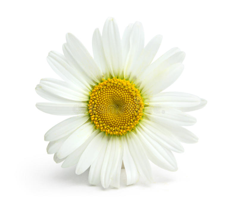Chamomile flower on a white background royalty free stock photos