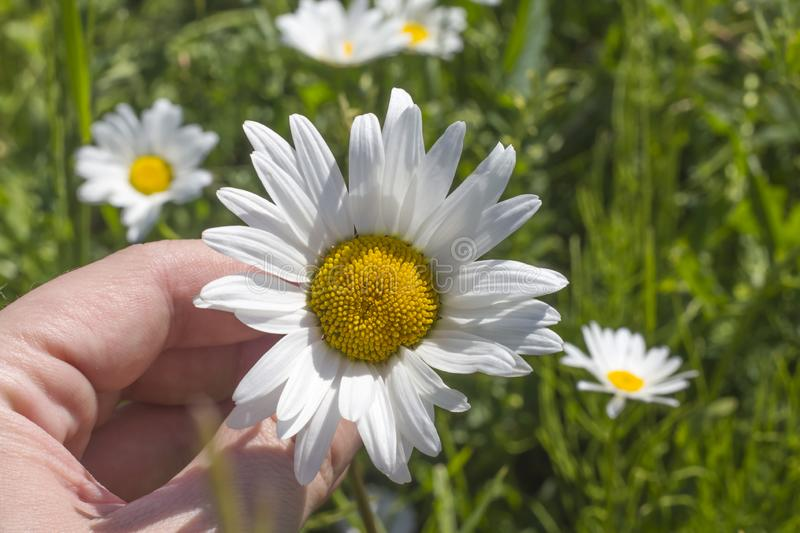 Chamomile flower in a woman`s hand in a meadow in Sunny weather royalty free stock images