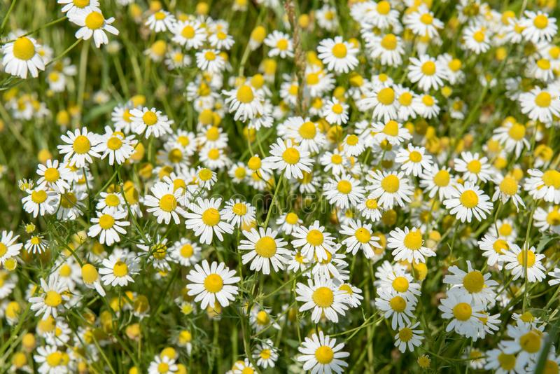 Chamomile flowering in Summer Field, Camomile in Nature, natural Herbs royalty free stock images