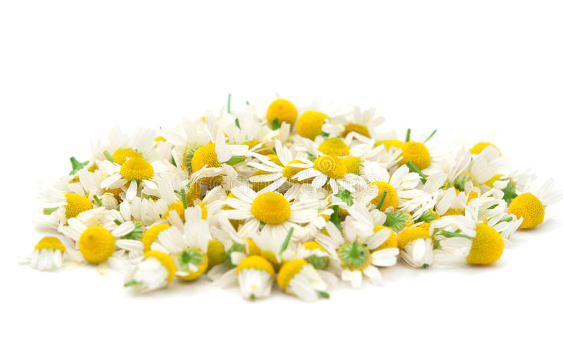 Chamomile Flowers royalty free stock photo