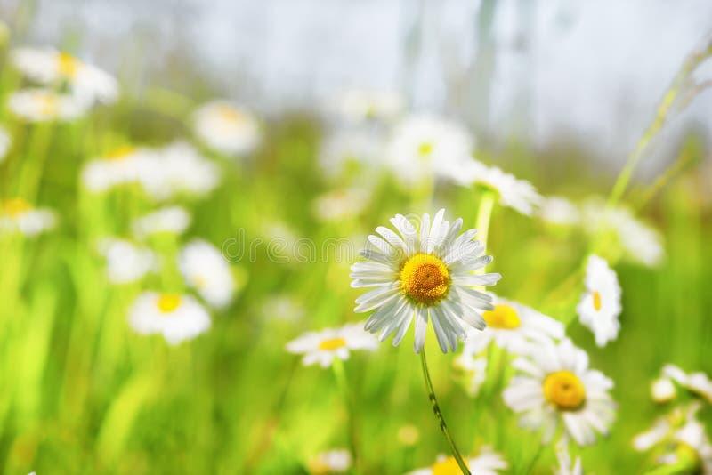 Chamomile among flowers. Daisy camomile flower.Chamomile field flowers border. Beautiful nature scene. Spring Daisy. Summer flowers. Beautiful meadow. Summer royalty free stock photo