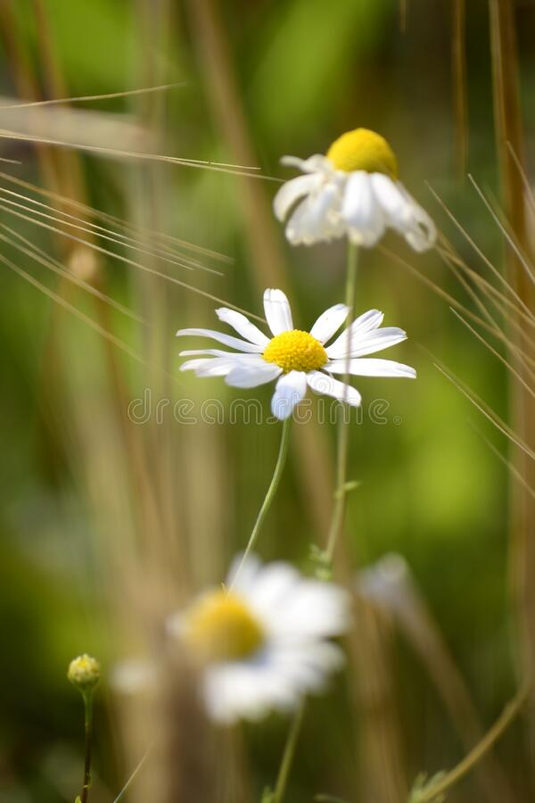Chamomile flowers in field royalty free stock photo