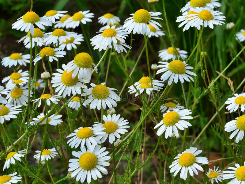 Chamomile flowers field stock photography
