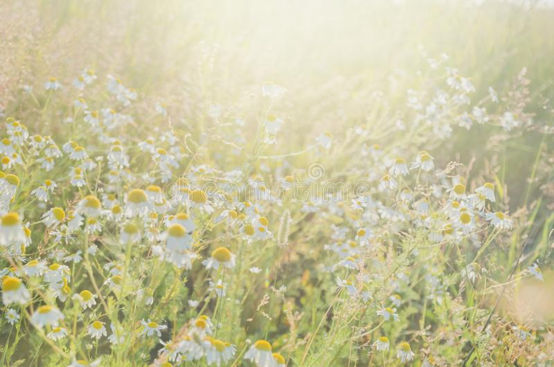 Chamomile flowers field wide background in sun light. Summer Daisies. Beautiful nature scene with blooming medical royalty free stock photography