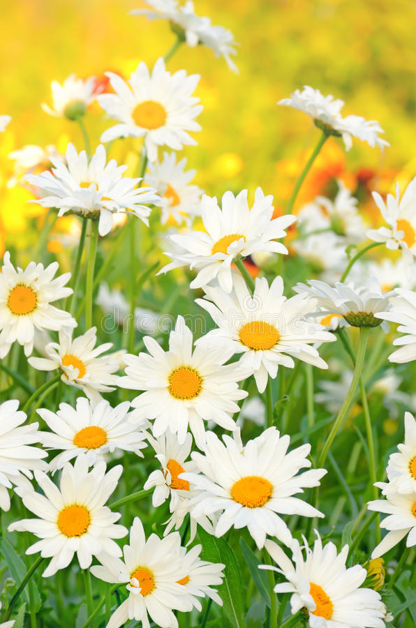 Chamomile flowers in the garden stock photography