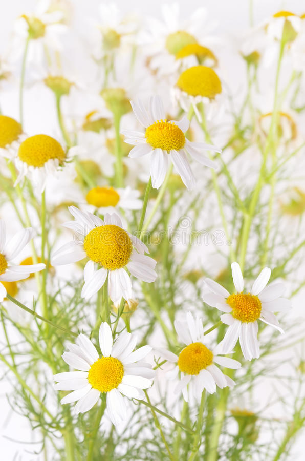 Chamomile flowers in garden, close up view, shallow depth of fie royalty free stock image
