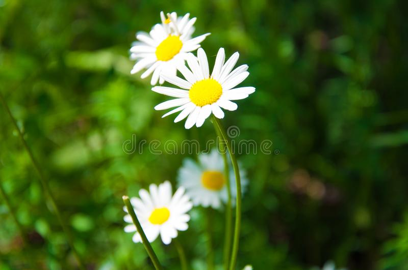 Chamomile flowers grow in the forest on the background of green grass. The background is blurred. royalty free stock photos