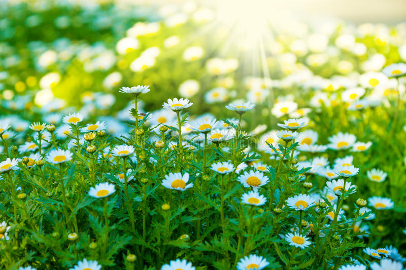 Chamomile flowers lit by sunlight royalty free stock images