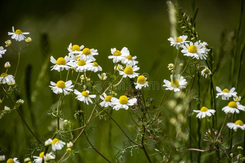 Chamomile flowers on meadow in summer, selective focus, blur. Beautiful nature scene with blooming medical daisies on a sunny day stock image