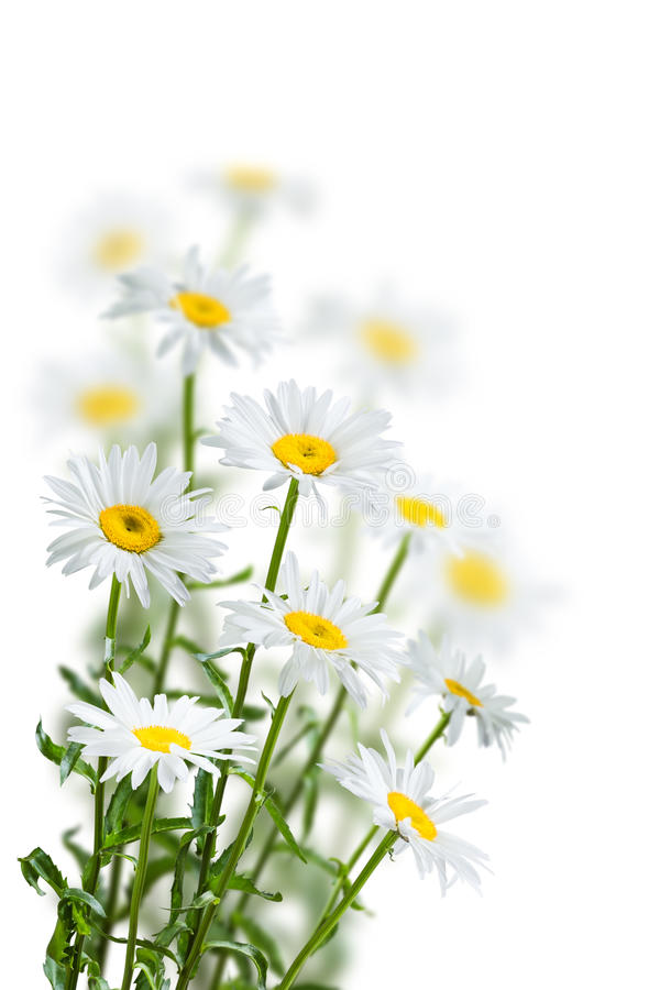 Free Chamomile Flowers On A White Stock Photos - 88171583