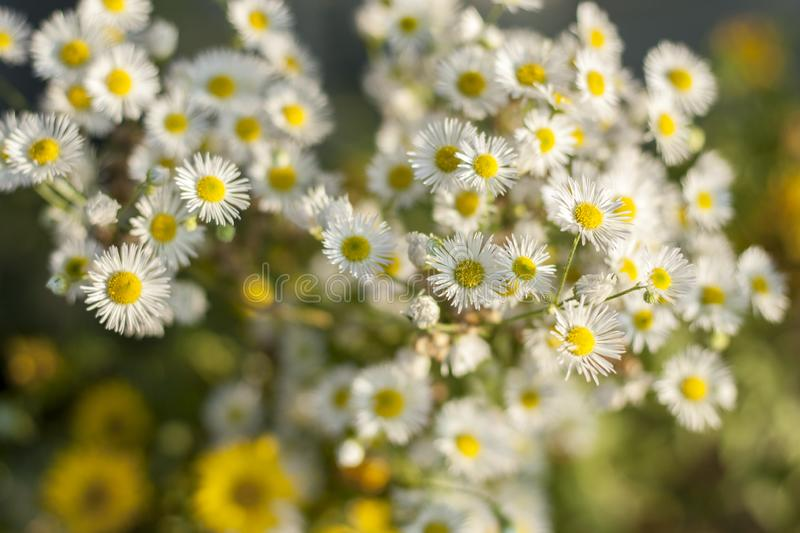 Chamomile flowers. Pharmaceutical camomile. Medicinal plant chamomile lowering stock photos