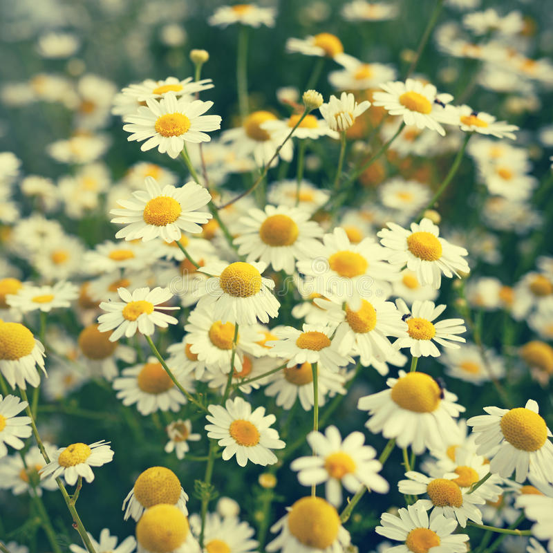 Chamomile flowers stock photography
