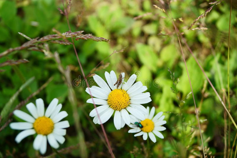 Chamomile and grasshopper royalty free stock photo