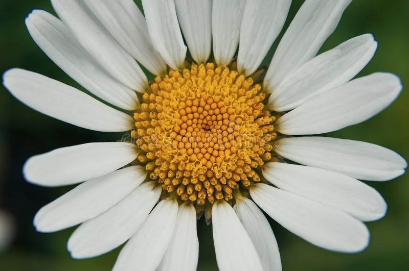 Chamomile on a green background, which is missing a few petals. Chamomile on a green background, which lacks a few petals, photographed close-up royalty free stock photos