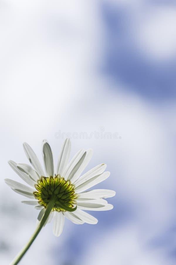 Chamomile kwiat i zamazany niebieskie niebo z chmurami w tle zdjęcie stock