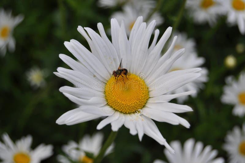 Chamomile kwiat na kraj stronie obraz royalty free