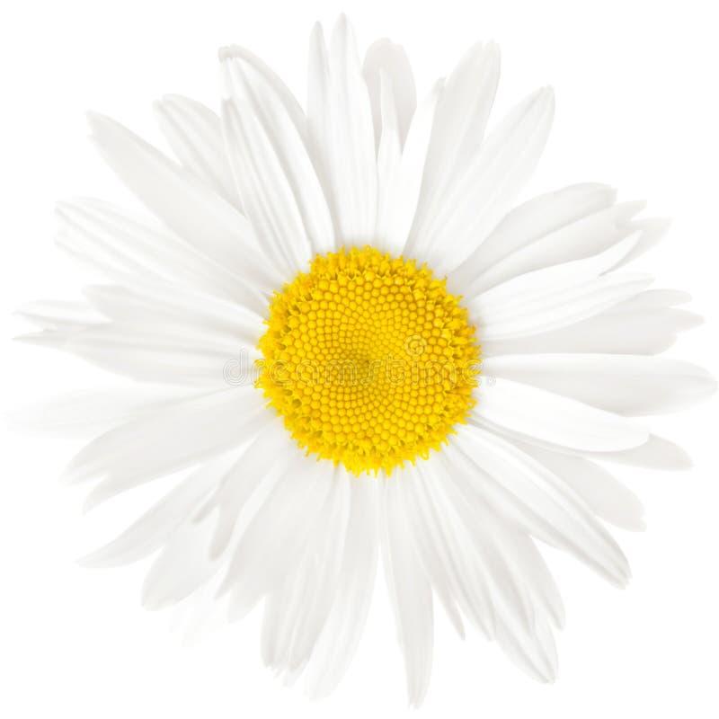 Chamomile kwiat odizolowywający na białym tle z ścinek ścieżką fotografia stock