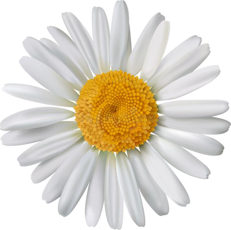 chamomile kwiat odizolowywający wektor royalty ilustracja