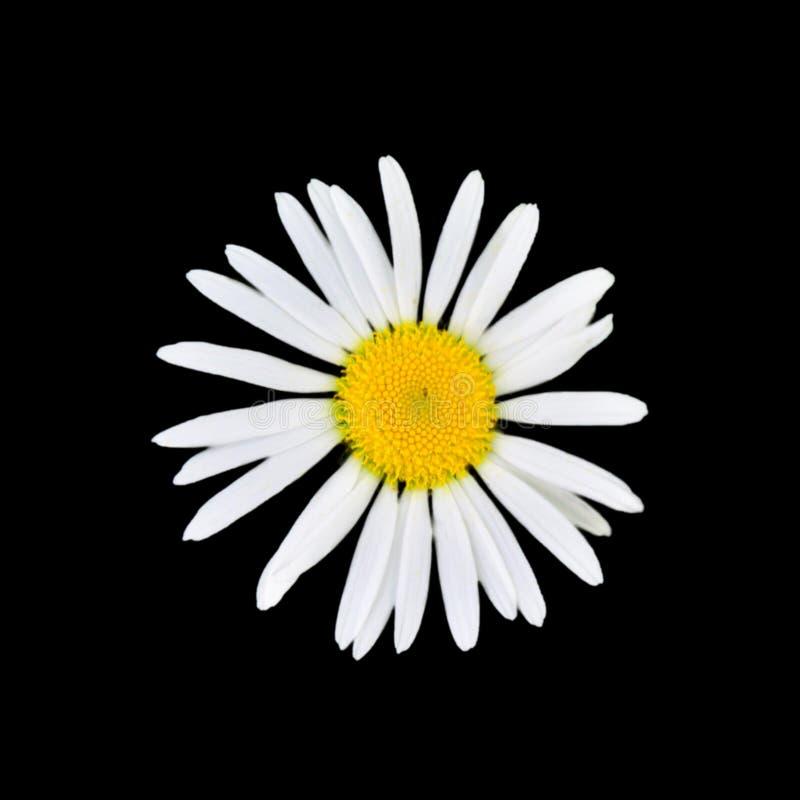 Chamomile kwiat odizolowywaj?cy na czarnym tle obrazy stock
