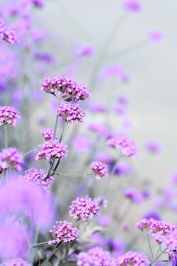 Chamomile kwiat?w pole Magiczne wiosen stokrotki na gazonie na s?onecznym dniu, zdjęcia stock
