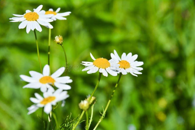 Chamomile kwiat z zielonym t?em Makro- strza? o bia?ym chamomile kwiacie z zielonym t?em w ogr?dzie fotografia stock