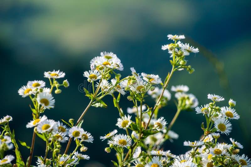 Chamomile kwiat zamknięty w górę natury w, lato czas, leczniczy kwiat fotografia stock