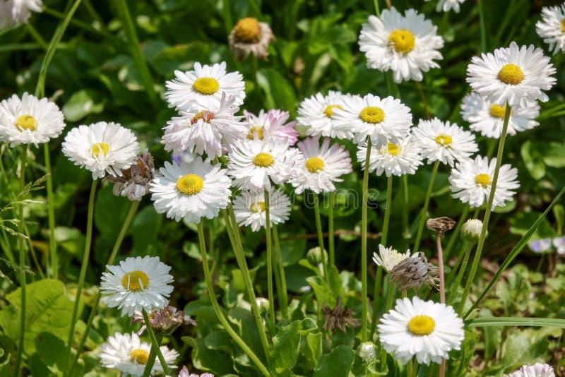 Chamomile kwiaty rumianek, stokrotki ko?o, stokrotka ?a?cuch, chamomel fotografia stock