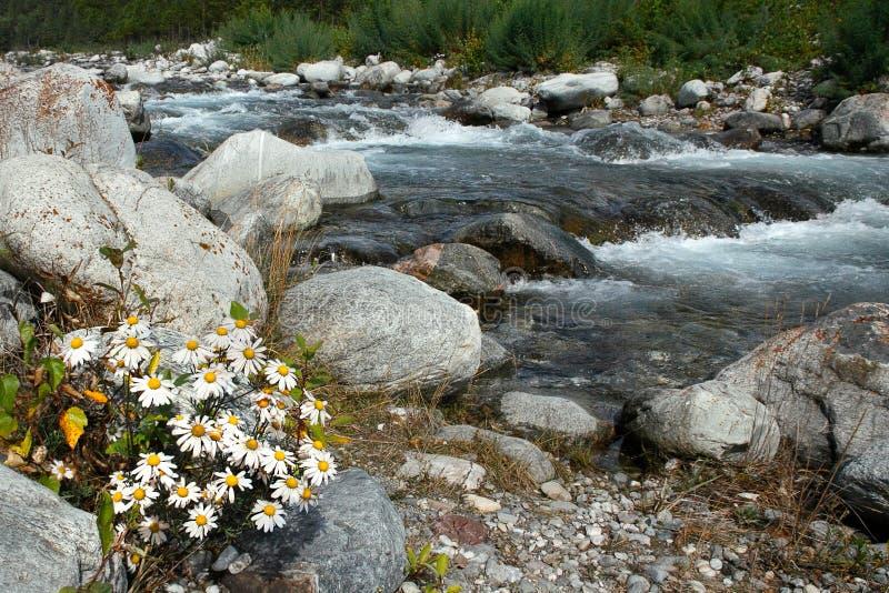 Chamomile kwitnie blisko halnej rzeki fotografia stock
