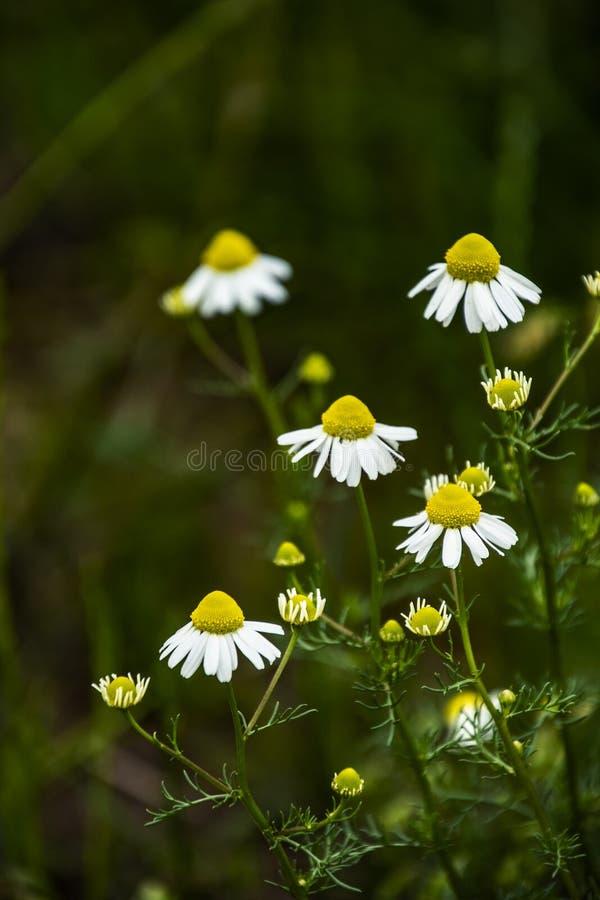 Chamomile kwitnie na łące w lecie, selekcyjna ostrość, plama Piękna natury scena z kwitnąć medyczne stokrotki na słonecznym dniu fotografia royalty free