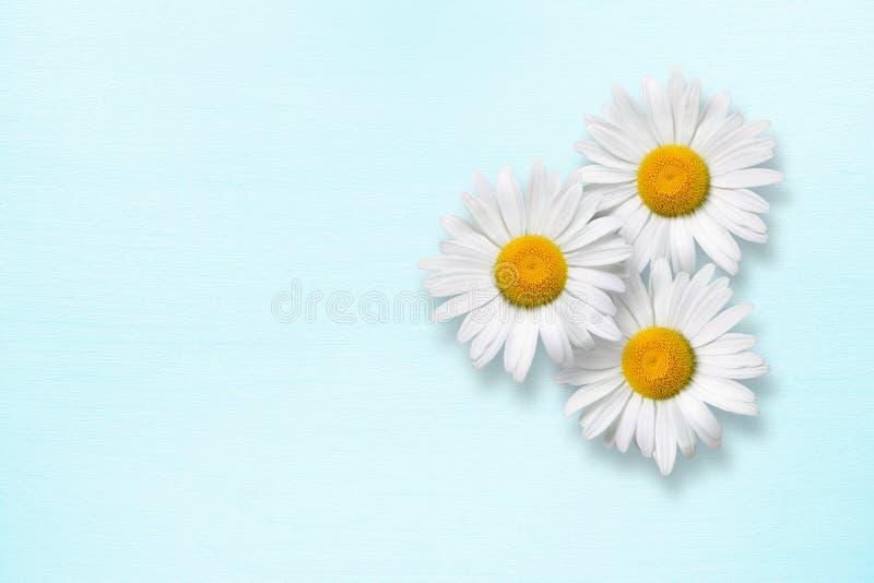 Chamomile kwitnie na błękitnym drewnie fotografia royalty free