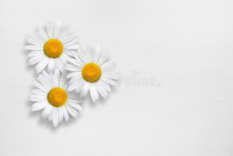 Chamomile kwitnie na białym drewnie obraz royalty free