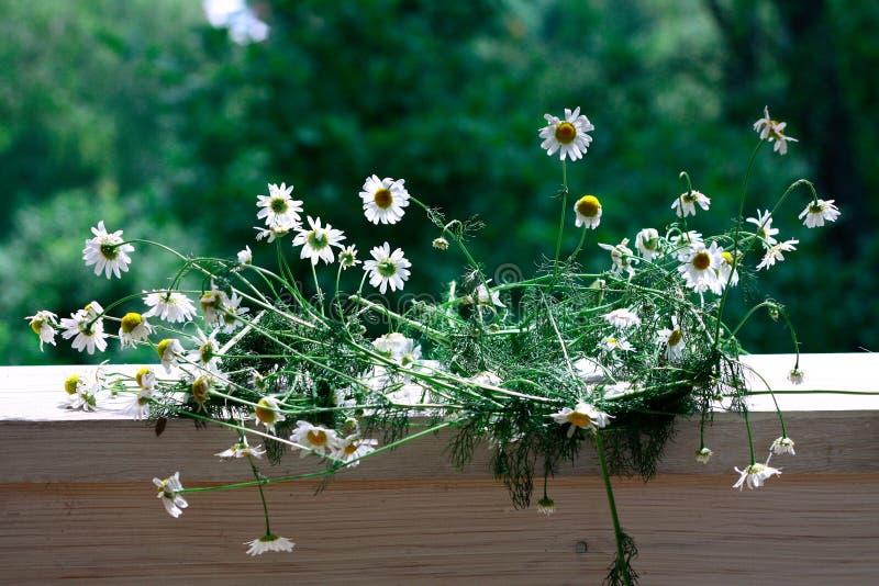 Chamomile kwitnie na naturalnym tle zdjęcia royalty free