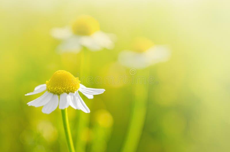 Chamomile kwitnie w polu - Selekcyjna ostrość obrazy stock