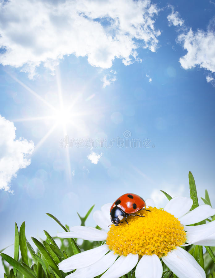 Chamomile and ladybug royalty free stock photo