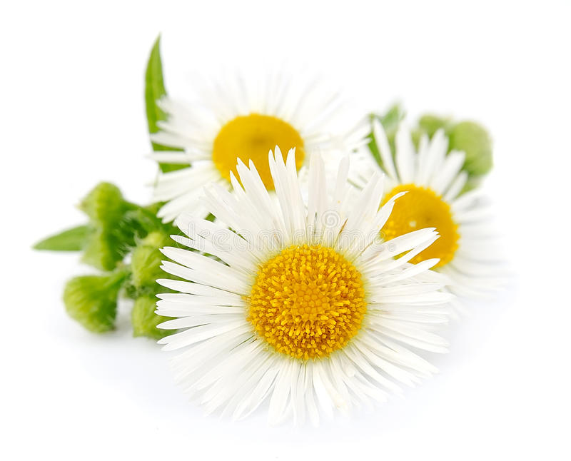 Chamomile with leaves stock images
