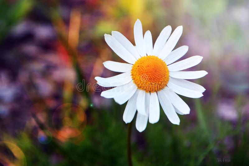 Chamomile stock photography