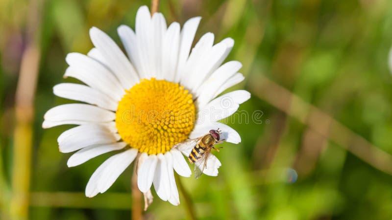 Chamomile med en fluga på en petal arkivfoto