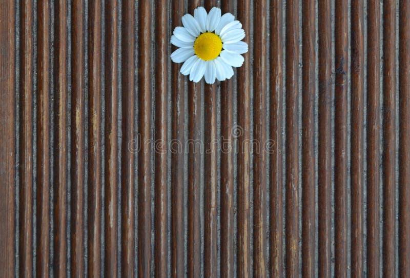 Chamomile na drewnianym tle fotografia royalty free