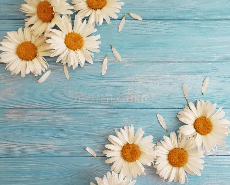Chamomile natural on a blue wooden floral design birthday vintage festive greeting bloom. Chamomile on a natural blue wooden background bloom greeting texture stock photography