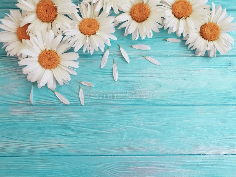 Chamomile natural on a blue wooden design frame birthday vintage festive greeting bloom. Chamomile on a natural blue wooden background bloom greeting texture stock photography