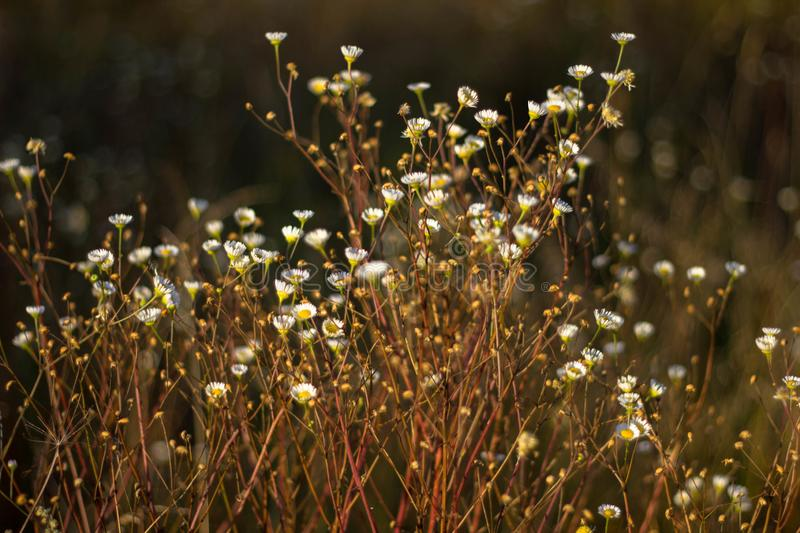 Chamomile pharmacy in the rays of the sunset in the autumn close-up. Chamomile field in Golden sunlight royalty free stock image