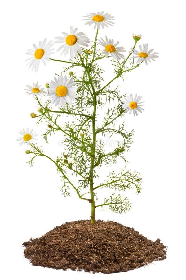Chamomile plant (Matricaria Chamomilla) royalty free stock image