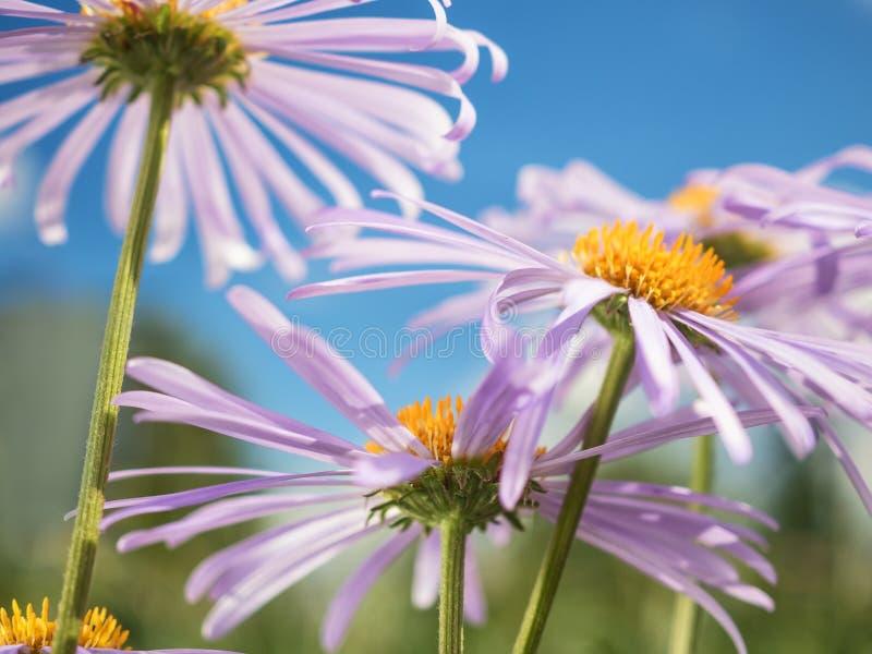 Chamomile pod niebieskiego nieba makro- naturalnym tłem fotografia royalty free