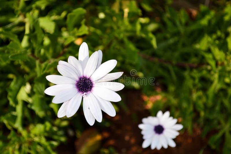 Chamomile pola kwiaty zamknięci w górę Piękna natury scena z kwitnącymi stokrotkami na słońce dniu Alternatywnej medycyny wiosny  obrazy royalty free