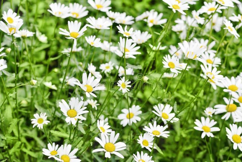 Chamomile pole Mnóstwo piękne białe stokrotki zdjęcia stock