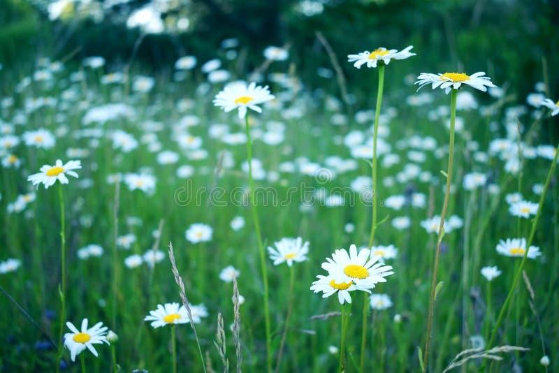 Chamomile pole w lecie, pole z kwiatami zdjęcie stock