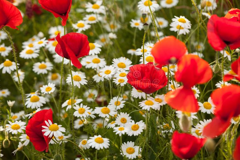 Chamomile and poppy flowers on a field stock images
