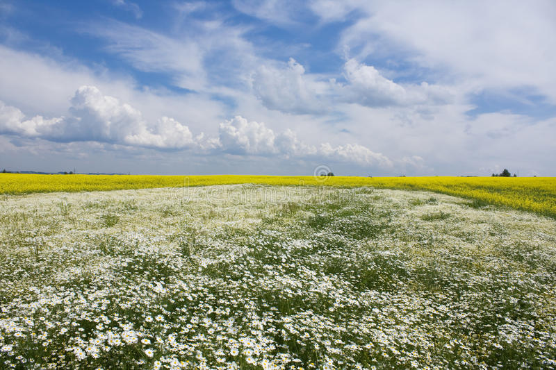 Download Chamomile And Rapeseed In The Field Stock Photo - Image: 22505810